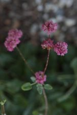Red Buckwheat Blooms, Eriogonum grande rubescens