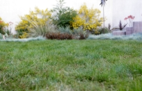 Carex Pansa IdealMow Lawn (Mowed)