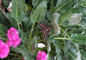Red Buckwheat, Eriogonum grande rubescens